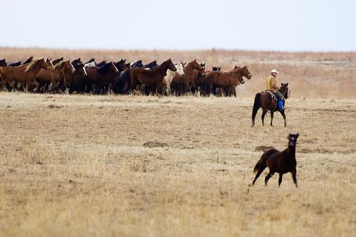gathering mares 088