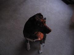 Cinder at Sunset (Poor Yorick) Tags: sunset dog carpet cinder