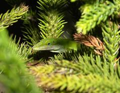 Anole Lizard, Maui (Stephen Jylz Kircher) Tags: tropics anolelizard mauihawaii