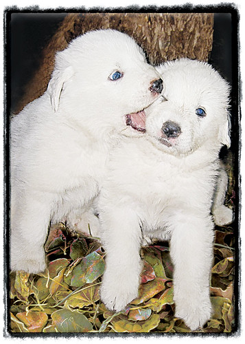 "Great Pyrenees Puppy ""Love Bite"""