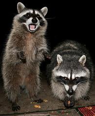 The Kids! (shesnuckinfuts) Tags: nature animal backyard critter wildlife wa raccoon washingtonstate valentinesday procyonlotor naturesfinest kentwa supershot thesiblings february2008 shesnuckinfuts
