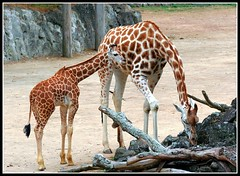 Mrs Giraffe & Junior (Chris Gin) Tags: cute animal zoo child mother auckland giraffes giraffe mywinners anawesomeshot theunforgettablepictures