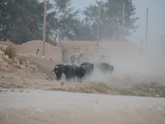 Buffalos on the march…