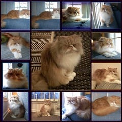 Toby Mosaic (iwork4toby) Tags: red cat persian persiancat redpersian luv2explore