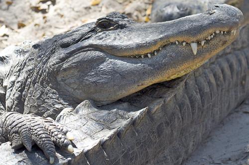 Big Gator