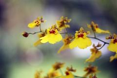 Yellow Orchid (Luiz Henrique Assunção) Tags: brazil orchid flower nature yellow brasil canon eos 50mm flor amarelo orquídea limeira 40d licassuncao