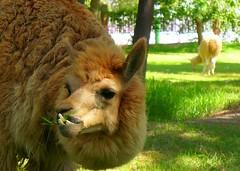 Llamas, Alpacas, Vicuñas and Guanacos