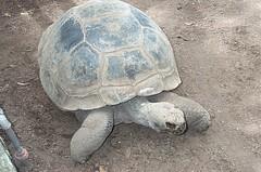 Giant tortoise at zoo