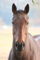 majestic (Saxon9) Tags: new travel friends summer portrait horses horse brown holiday eye art nature animal animals fur fun nose eyes head profile australia ears domestic ear daytime galope photofaceoffwinner pfogold