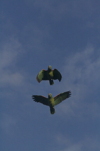 Green parrots flying around a clay lick