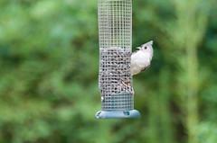 Peak-a-bee, it's Ernest T (LindaSC) Tags: bird titmouse tuftedtitmouse