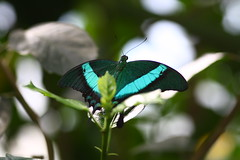 281 (NaSiUdUk) Tags: animals butterfly garden insect tiere butterflies insects tropic dieren insekten vlinder vlindertuin canon1000d