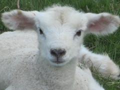 Fluffy (jgg35) Tags: uk white animal fauna kent spring soft lamb kartpostal fantasticnature natureplus almostanything