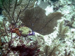PICT0029 (JoseQ) Tags: coral mar belize caribe submarinismo
