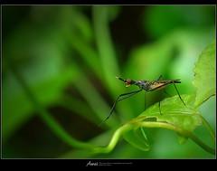 長腳蠅   Neriidae (Taiwan-Awei) Tags: taiwan insect nature elf bug macro awei 昆蟲 green awei750 taiwanawei ecology summer ecological wild tropical garden 自然 生態 微距 林敬偉