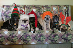 Merry Christmas from the Pugs 2007 (Petunia21) Tags: santa christmas red black green hat photoshop spring tags antlers couch elf fawn noses tigger pugs harness groups pompom collars