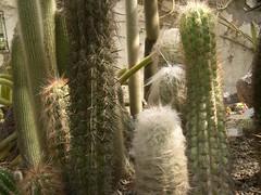 cactus 171 (blum1) Tags: cactus fiori piante ortobotanico