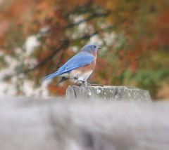 111407 bluebird!