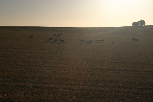 Near Kapunda, sheep in the sunset light.