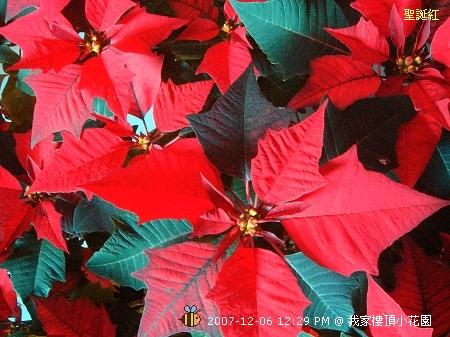 聖誕紅 (2)
