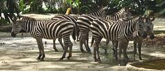 PB249058 (Bokehneko) Tags: animal animals circle zoo drinking formation zebra defensive herd captivity