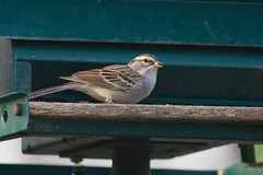 Chipping Sparrow (waltser) Tags: sparrow chipping