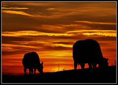 Cattle at Sunset (ccgd) Tags: sunset scotland highlands cattle bull sutor gloaming comarty flickrsbest southsutor