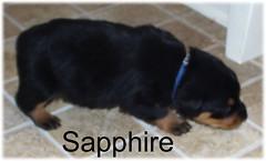 sapphire2 (muslovedogs) Tags: dogs puppy rottweiler teaara zeusoffspring