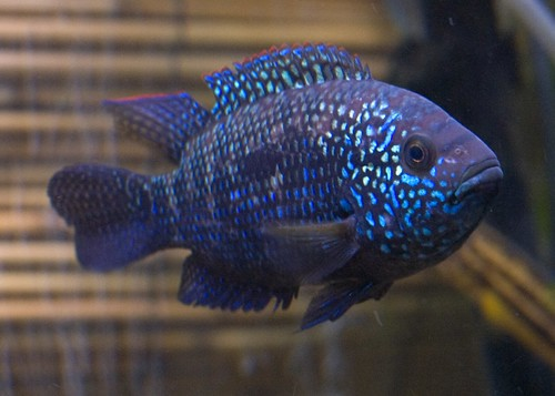 Electric blue jack dempsey how to keep a happy healthy for Blue freshwater fish