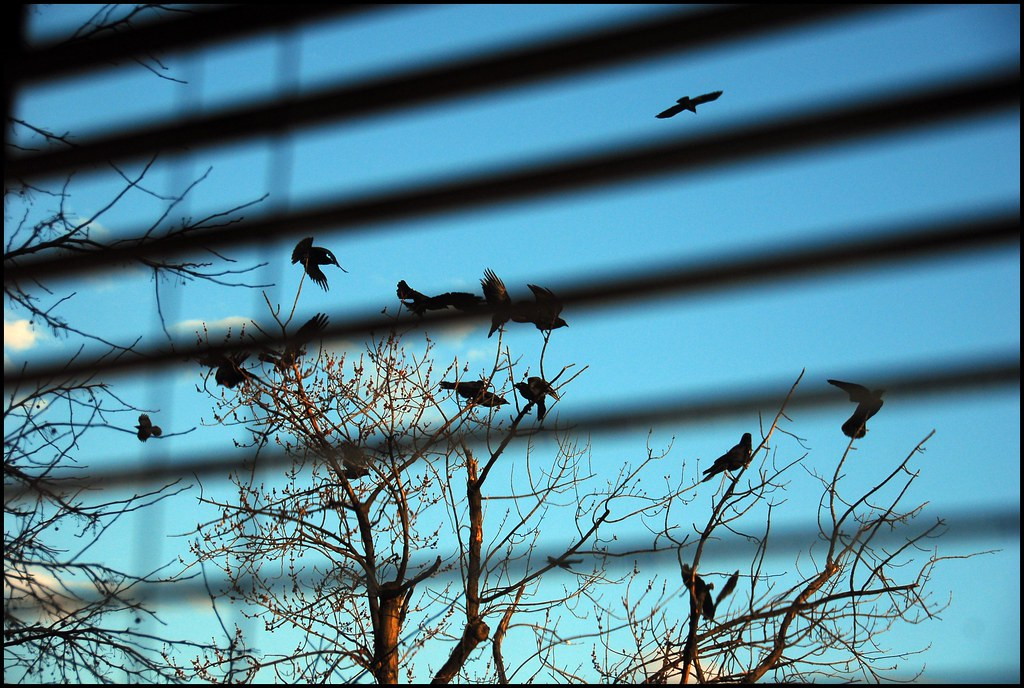 crows are a pane
