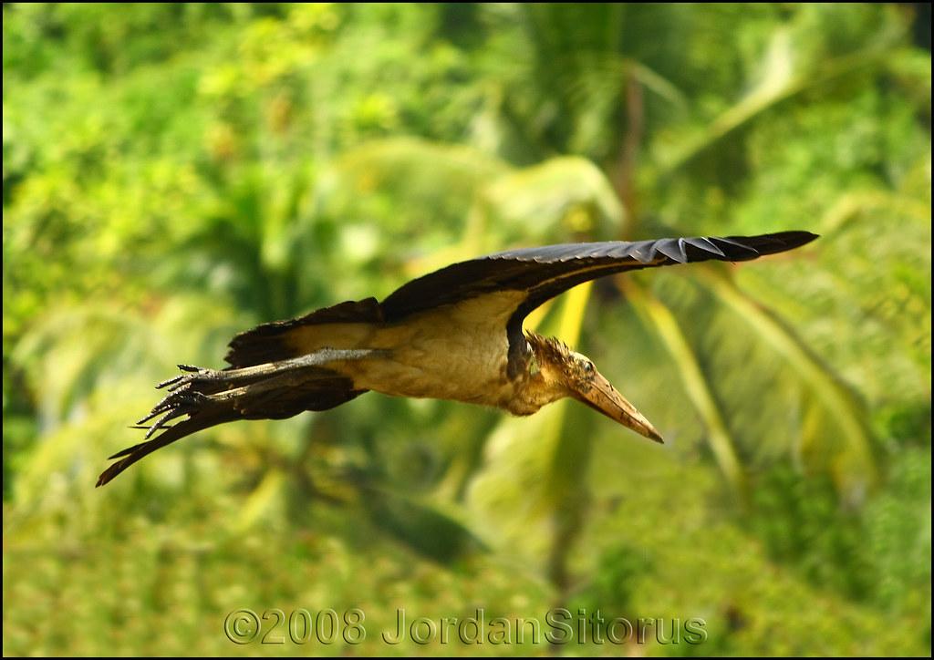 Lesser Adjutant Stork (Leptoptilos javanicus)