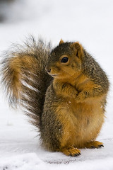 Posing For Peanuts (James Marvin Phelps) Tags: urban cute animal photography rodent furry backyard squirrel michigan wildlife fox jmp mandj98 jamesmphelps