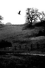 Father-Son Bonding (cacheboyz) Tags: bird grass wings flight oaktree milpitas soar santaclaracounty edlevincountypark