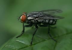 Mosca (sonia furtado) Tags: macro fly mosca parquedasdunas passeiofotográfico nanaturezainnature