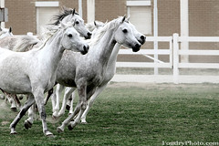 The Arabic Originality (A.alFoudry) Tags: horses horse white green beauty grass speed canon eos is moving movement run arabic full arab freeze frame 5d kuwait usm fullframe  ef kuwaiti q8 70200mm abdullah  canoneos5d f28l kuw q80 canonef70200mmf28lisusm  xnuzha alfoudry kwtphoto  abdullahalfoudry foudryphotocom  kvwc kuwaitvoluntaryworkcenter kwtphotocom