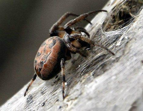 Las Arañas Mas Venenosas