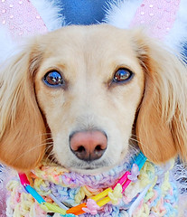 Honey Bunny (Doxieone) Tags: pink blue dog cute rabbit bunny english easter long cream ears dachshund honey blonde haired coll doxie longhaired honeydog englishcream honeyset easterset
