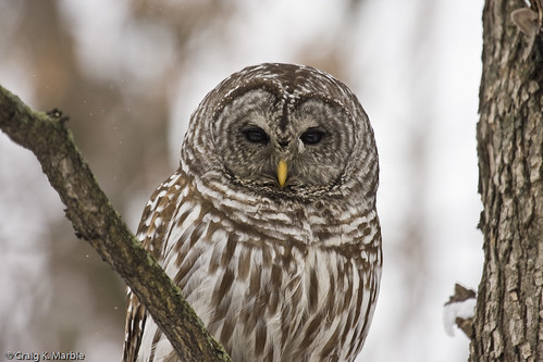 Barred Owl (2 of 3)
