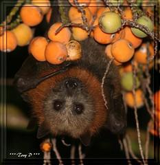You lookin at me? (tkcrash123) Tags: night newcastle flyingfox bats fruitbats noctural