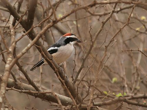 Red-naped Bushshrike