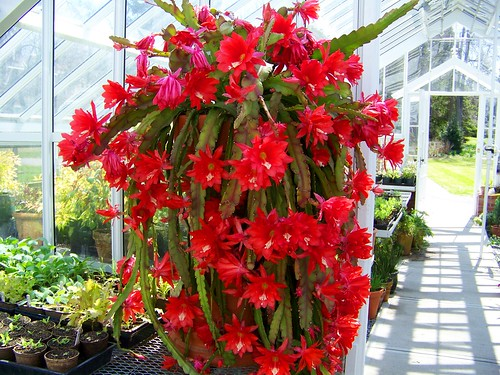 red flowering cactus 2