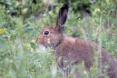 Mountain Hare (Henrik von Wendt) Tags: mountain hare lepus timidus skogshare