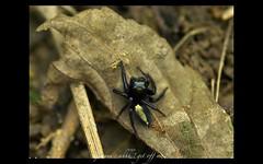 help me ! this ant is crazy ! (jimuni) Tags: macro nature bug spider digitalcameraclub specnature mywinners