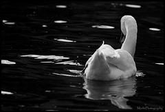 Swan (Marhi_226) Tags: swan prague praha vltava labu
