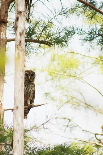 Barred Owl: Peekaboo