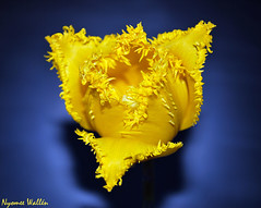 Tell me. Who has torn my tulip? (nyomee wallen) Tags: blue flower macro yellow with buttercup hamilton fringe tulip soe crystalline mywinners aplusphoto