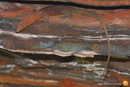 Pilbara rock monitor (Varanus pilbarensis)