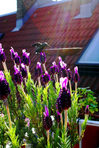 balcony - bird bath and faux lavender