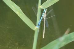 mudando de traje (Brizia) Tags: macro azul libellule etang totalphoto empyreanlandandcityscapes