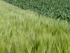 Gerstenfeld vor Mais